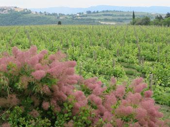 Allegrini-Vigneto-La-Grola