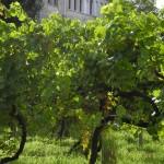 Nel convento la viticoltura della Serenissima
