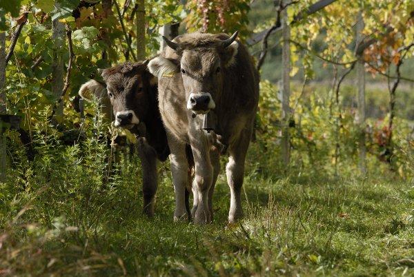 Lageder-Mucche_vigneti_Biodynamie
