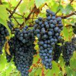 Elmo un nuovo vitigno autoctono della Valpolicella